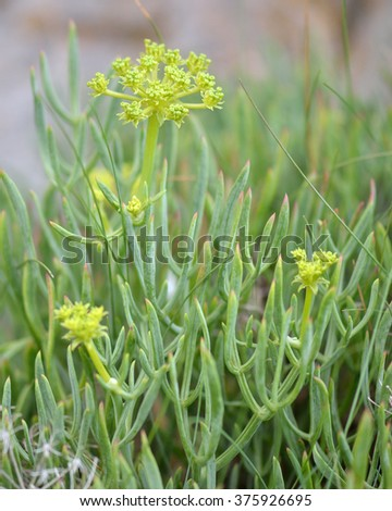 Rock samphire (Crithmum maritimum) plants in flower. An edible plant in the carrot family (Apiaceae), often known as sea fennel, with detail of small flowers  - stock photo