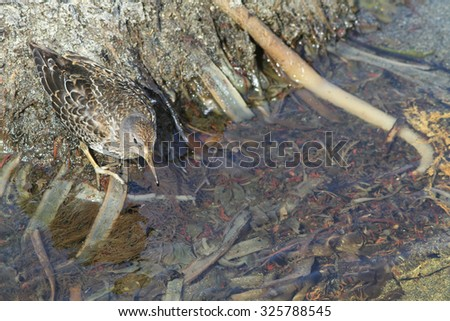Rock sandpiper in a sunny day looks for food in silt on the bank of a stream - stock photo