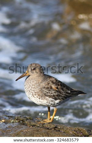 Rock Sandpiper on an ocean coast