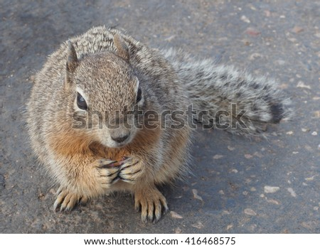 Rock Squirrel Looks up expectantly Hoping for a Handout - stock photo