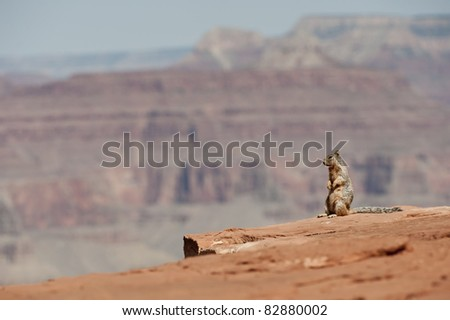 Rock Squirrel standing on cliff edge in the Grand Canyon - stock photo