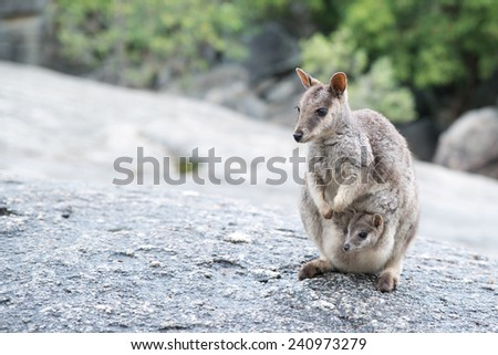 Rock Wallaby, Australia - stock photo