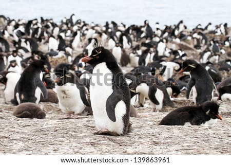 Rockhopper Penguin colony - stock photo