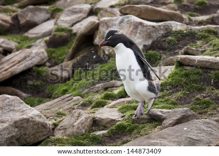 Rockhopper Penguin (Eudyptes chrysocome chrysocome), Western subspecies, an adult hopping over rocks near it's breeding colony on Saunders Island in the Falklands. - stock photo