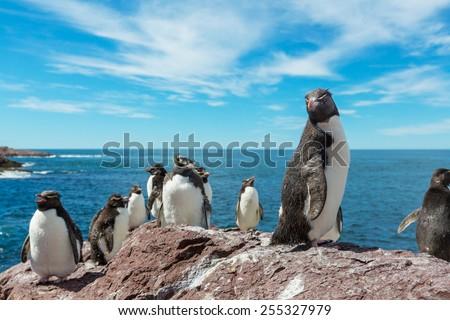 Rockhopper penguin in Argentina - stock photo