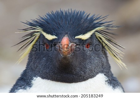 Rockhopper penguin looks directly at camera - stock photo