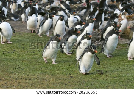 Rockhopper penguins (Eudyptes chrysocome) on the Falkland Islands - stock photo