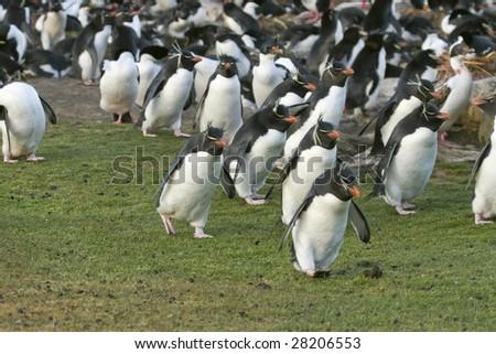 Rockhopper penguins (Eudyptes chrysocome) on the Falkland Islands - stock photo