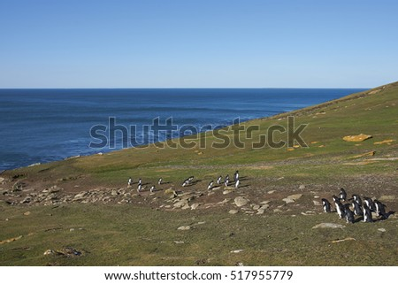 Rockhopper Penguins (Eudyptes chrysocome) walking across a grassy slope to reach the sea on Saunders Island in the Falkland Islands.