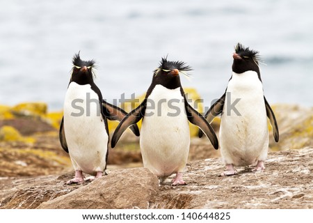 Rockhopper Penguins walking uphill - stock photo
