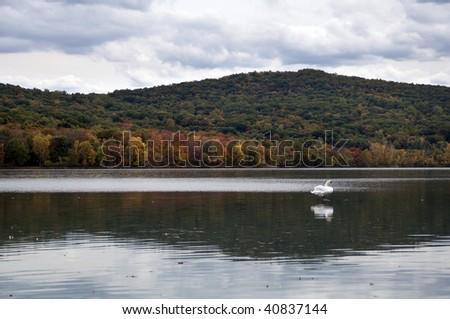 Rockland Lake Swan - stock photo