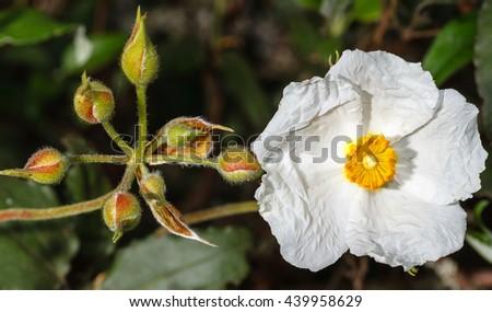 Rockrose in bloom. Cistus laurifolius. - stock photo