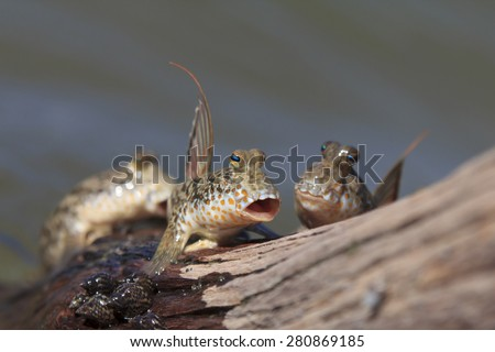 Rockskipper fish: The fish that can walk on land - stock photo