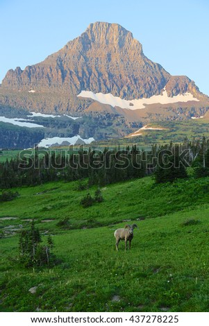 Rocky Mountain Big Horn sheep with mountain in background Glacier National Park - stock photo