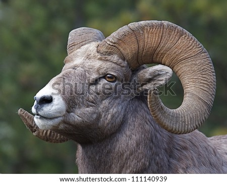 Rocky Mountain Bighorn Sheep, full curl trophy ram, close-up portrait with a green background, along state route 200 in Thompson Falls, Montana - stock photo