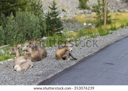 Rocky Mountain Bighorn Sheep on the side of the road, Alberta Canada - stock photo