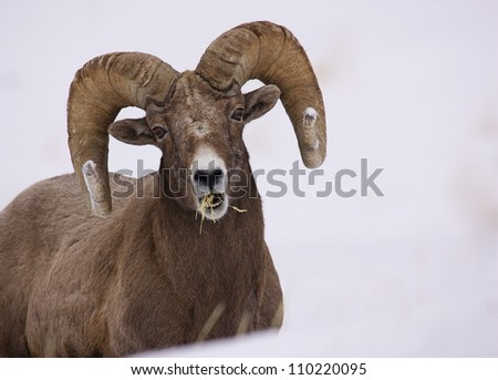 Rocky Mountain Bighorn Sheep Ram eating grass in winter snow at Yellowstone National Park, Montana / Wyoming - stock photo