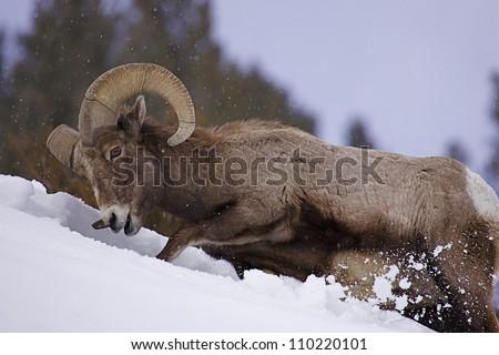 Rocky Mountain Bighorn Sheep Ram pawing through deep winter snow at Yellowstone National Park, Montana / Wyoming - stock photo