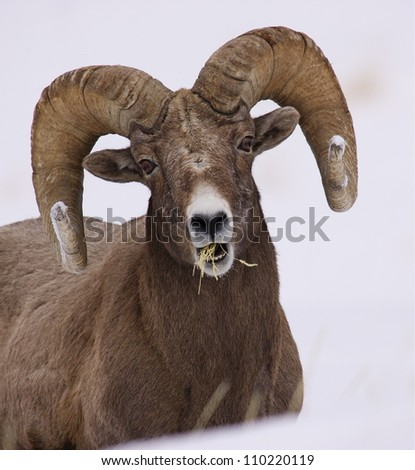 Rocky Mountain Bighorn Sheep Ram portrait; eating grass in winter snow at Yellowstone National Park, Montana / Wyoming - stock photo