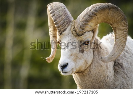 Rocky Mountain Bighorn Sheep Ram with large spiral horns - stock photo