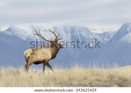 Rocky Mountain Elk, Cervus canadensis, stag walking with snow capped peaks and alpine habitat in the background; environmental portrait