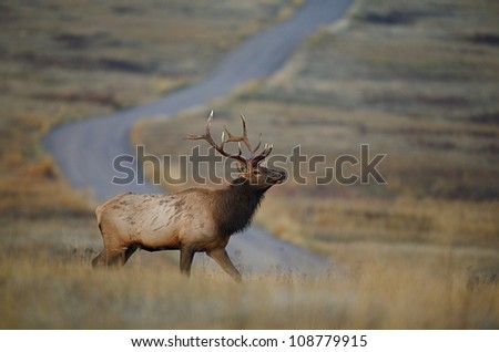 Rocky Mountain Elk in the prairie, with a dirt road in the background - stock photo