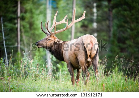 Rocky Mountain Elk (lat. Cervus canadensis) in the woods of Banff National Park, Alberta, Canada - stock photo