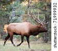 Rocky Mountain Elk (lat. Cervus canadensis) in the woods of Grand Canyon National Park, Utah, USA - stock photo