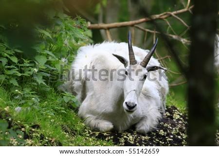 rocky mountain goat - stock photo