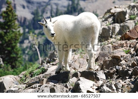 Rocky Mountain goat standing at a cliff on Mt Timpanogos, Utah. - stock photo