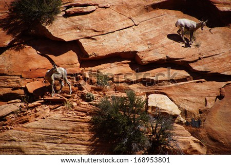 Rocky Mountain sheep  ( Ovis canadensis ) climbing on red sandstone cliffs in    Zion National Park, Utah  - stock photo