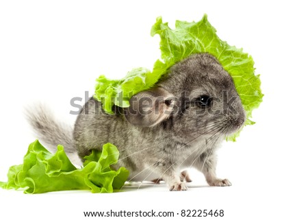 Rodent (chinchilla) is sitting on white background with a green salad