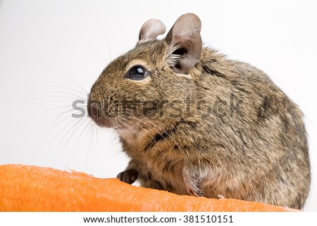 rodent degu side view closeup with carrot isolated on white - stock photo