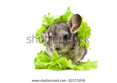 Rodent sitting on white background with a green salad