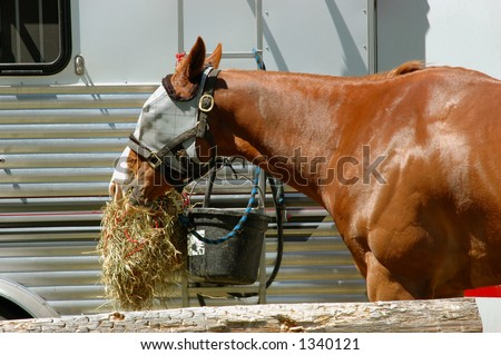 Rodeo horse eating from hay net, wearing fly mask to protect face from flies - stock photo