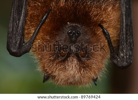 Rodrigues Fruit Bat Hanging - stock photo