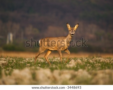 Roe - stock photo