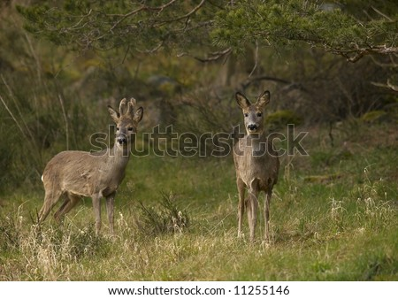 roe and roebuck - stock photo