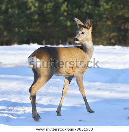 Roe deer. - stock photo