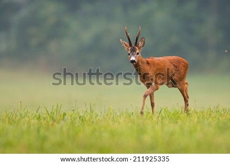 Roe deer buck / capreolus capreolus / with big antlers walking on the field, with blurred background, wildlife. Horizontal orientation. - stock photo