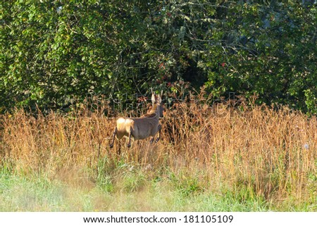 Roe deer buck jumping in to the forest - stock photo