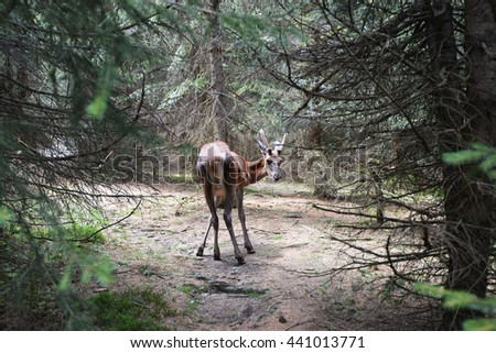 roe deer buck running in coniferous forest - stock photo