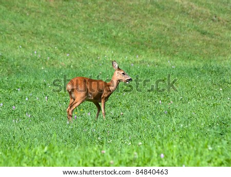Roe Deer - Capreolus capreolus Doe in alpine meadow - stock photo