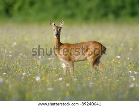 Roe Deer - Capreolus capreolus Doe in wildflower hay meadow - stock photo