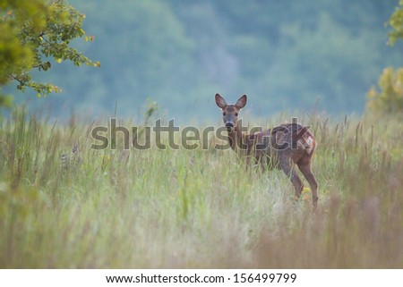 Roe deer doe standing on a meadow with blurred background - stock photo