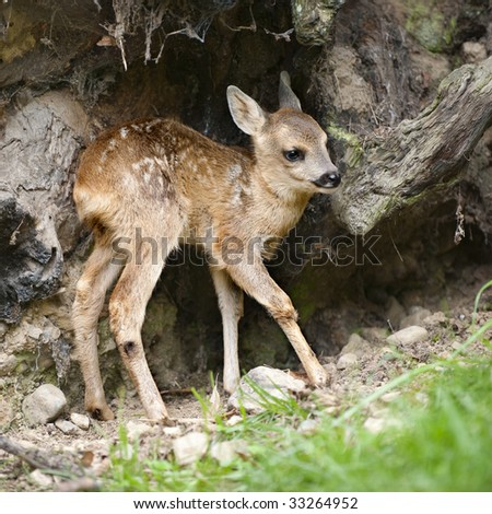roe deer Fawn - Capreolus capreolus (15 days old) in the wild - stock photo
