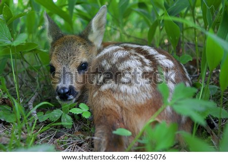 Roe Deer fawn hiding among the trees because her mother was chased away - stock photo