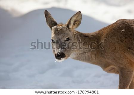 Roe deer grazing in a winter - stock photo