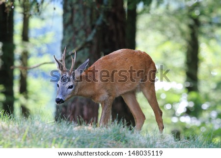 roe deer grazing in the forest - stock photo