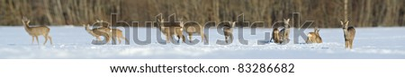 Roe deer group panorama in winter - stock photo